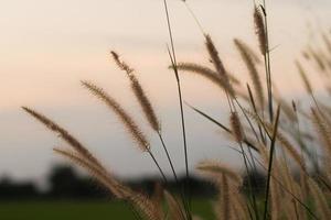 gros plan, de, herbe sauvage, à, coucher soleil photo