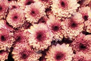 gros plan, de, fleurs roses