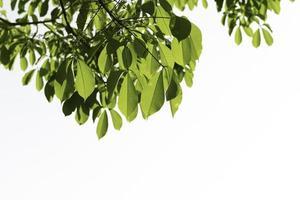 caoutchouc vert frais laisse fond blanc isolé, hevea brasiliensis. photo