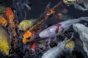 poisson koi dans l'eau photo
