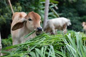 vache mange de l'herbe