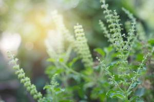 feuilles de basilic à la lumière douce photo