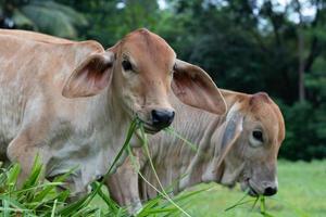 deux vaches mangent de l'herbe