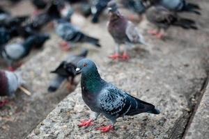 Pigeons en attente de nourriture à la rue du parc public, Thaïlande