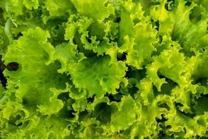 salade verte fraîche dans le jardin pour le fond photo
