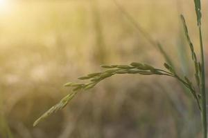 gros plan, de, a, plante riz