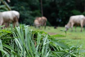 herbe fraîche vert clair pour les vaches.