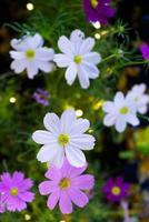 fleurs de cosmos blanc se bouchent avec bokeh. photo