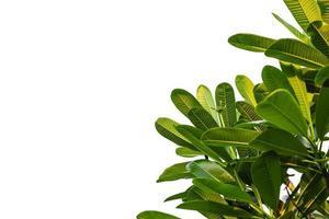 feuilles vertes sur fond blanc
