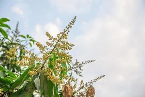 fleur de mangue dans le jardin