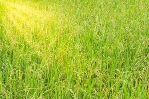 champ de riz vert