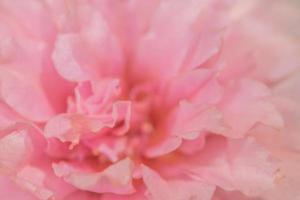 gros plan fleur rose photo