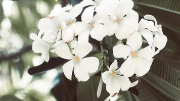 fleurs tropicales de frangipanier photo
