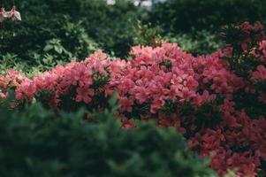 belles fleurs de jardin rose