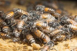 abeilles sur la ruche photo