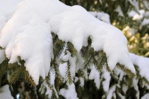 branches de fourrure sous la neige lourde photo