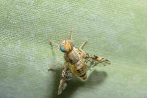 Drosophila melanogaster sur une feuille photo