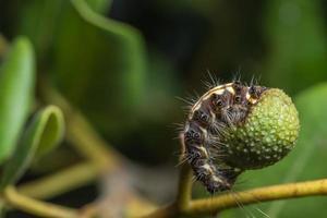 chenille mangeant des fruits
