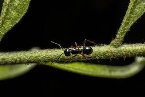 fourmi noire sur une plante photo