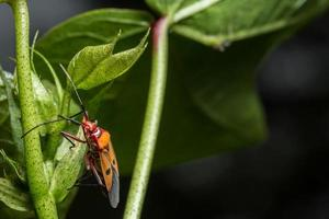 Bug assassin rouge sur une plante