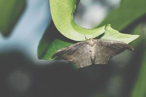 papillon de nuit sur une feuille photo