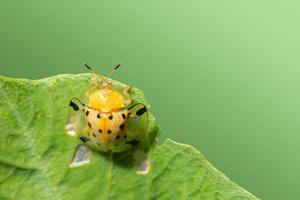 coccinelle jaune sur une feuille photo