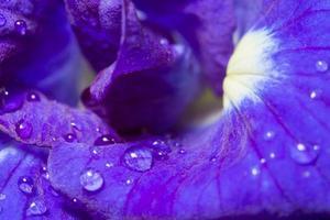 gouttes d'eau sur la fleur d'anchan photo