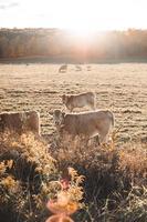vache dans le champ
