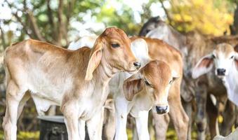 jeunes vaches à l'extérieur