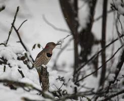 Scintillement du nord femelle perché dans les bois enneigés photo