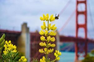 Abeille sur fleur jaune à san francisco