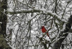 Le cardinal mâle se distingue au milieu de la neige photo