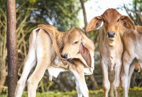 deux vaches à l'extérieur
