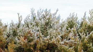 branches de conifères avec des aiguilles et de la neige en hiver