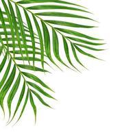 deux feuilles de palmier sur fond blanc photo