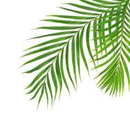 deux feuilles de palmier isolées