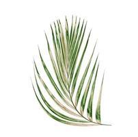 feuille de palmier verte photo
