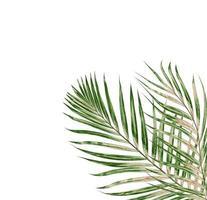 feuille de palmier sur fond blanc photo