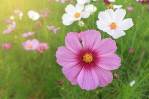 Le cosmos de fleurs roses et blanches s'épanouit magnifiquement à la lumière du matin. photo
