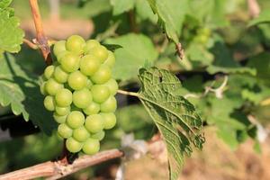 raisins verts et feuilles