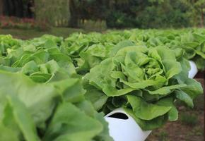 laitue de chêne vert tête de beurre, ferme de culture de légumes hydroponique biologique. photo