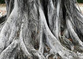 grandes racines d'arbres