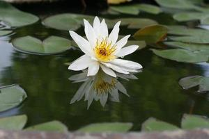 lotus dans l'étang photo
