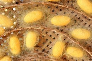 cocons de vers à soie