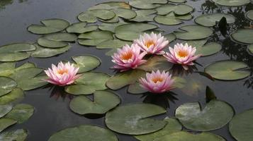 fleurs roses dans un étang photo