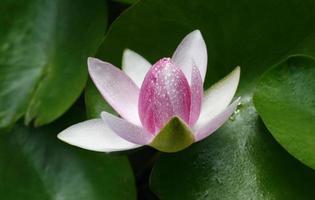 lotus rose avec feuille photo