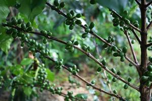 caféier avec des grains de café verts sur la branche photo