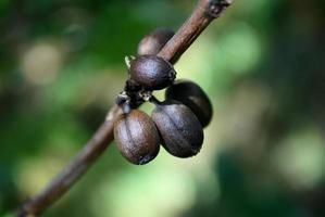 grains de café séchés