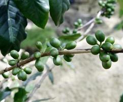 Baies de café vert sur plante photo
