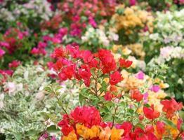 fleur de bougainvilliers colorés photo